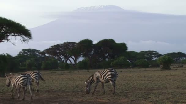 Zebras feeding near kilimanjaro