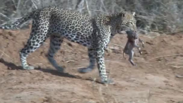 leopard with a kill in his mouth