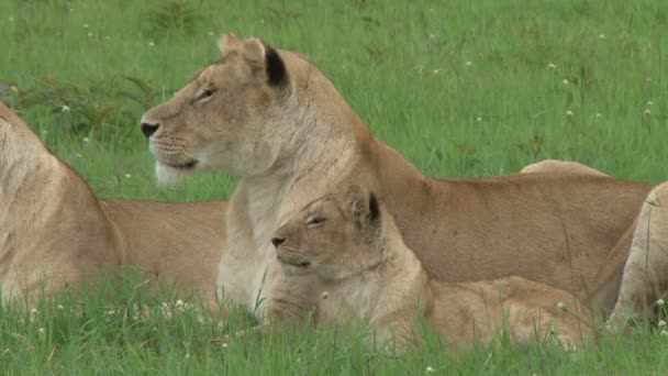 női oroszlánok és cub pihenő