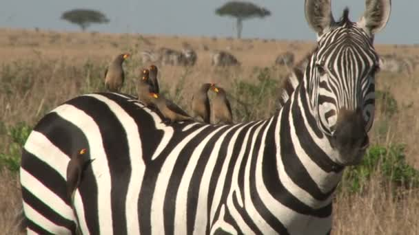 oxpeckers on the back of a zebra