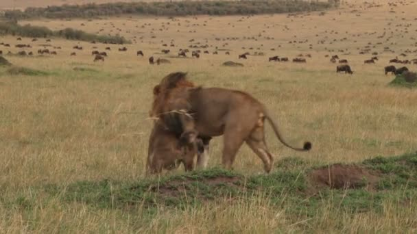 lions mating in Africa
