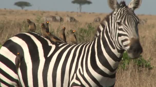 Klíště ptáci na zebra