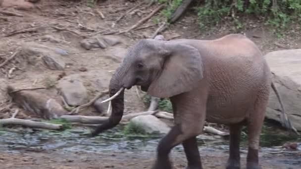 egy dühös elefánt halad