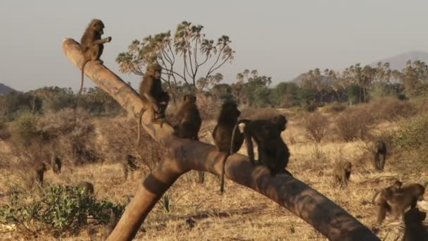 baboons playing together on  tree
