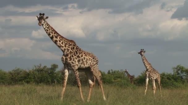 Tre giraffe a piedi