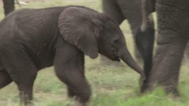 elefánt baba gyaloglást
