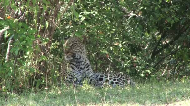 leopard resting in a shade
