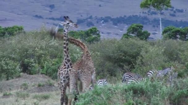 Giraffe di combattimento tra i cespugli