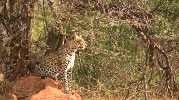 A leopard sitting on an anthill