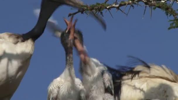 Ibis zvrací jídlo pro děti