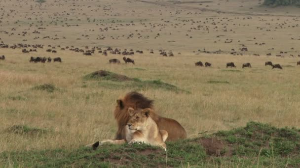 lions resting after mating