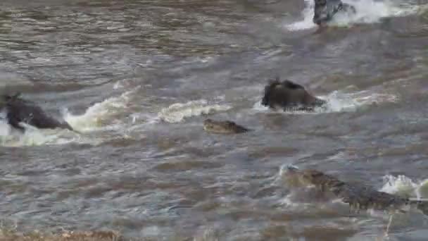 Crocodiles attack wildebeests