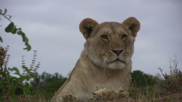 lvice zívání zblízka