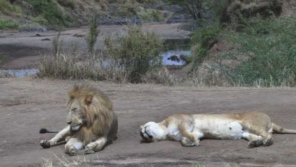 lion couple tired and worn out