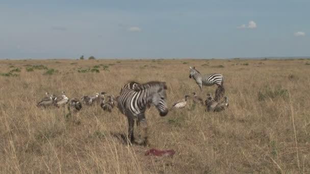 Zebra pomohl udržet pryč supů z baby