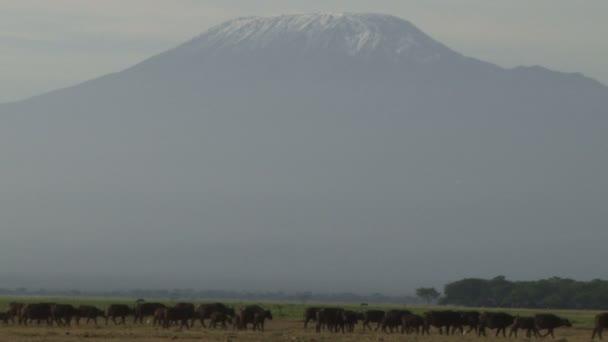 Buffaloes are walking of mount of kilimanjaro