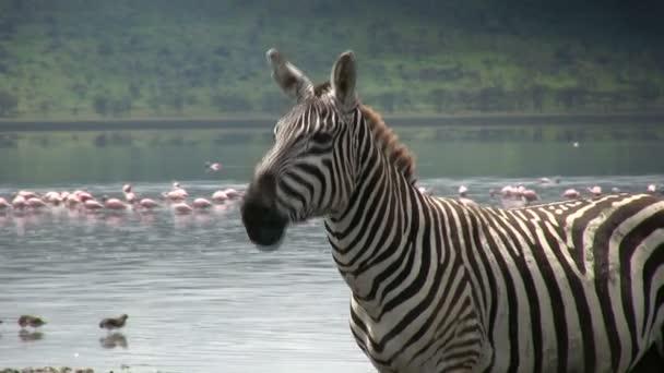 Zebra pohybuje rty