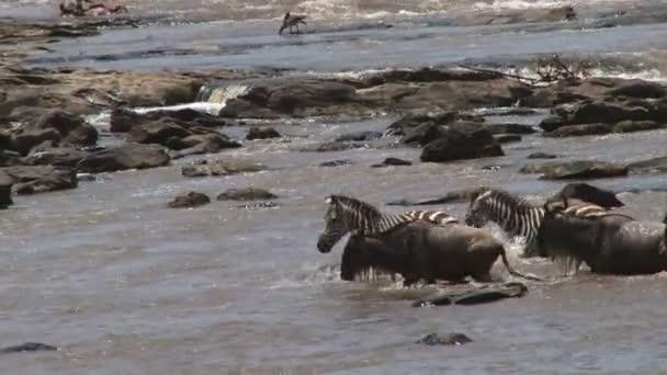 Zebras and wildebeests migration