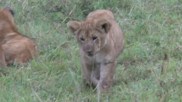 lion cub approaches the camera