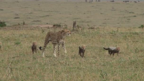 Gepard matka chodí s mláďata