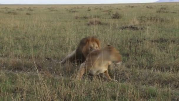 párzás afrikai oroszlánok