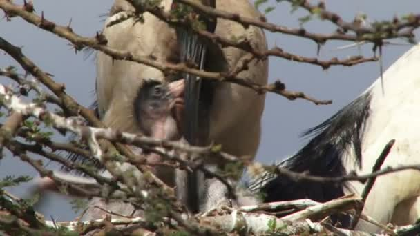 Matka ibis krmení dva mladíci