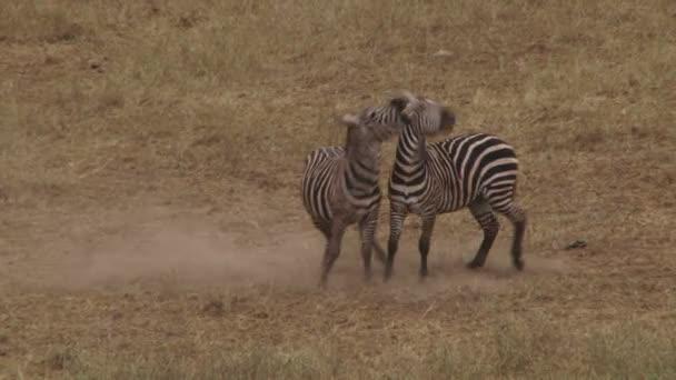 Afrikában harcoló zebrák