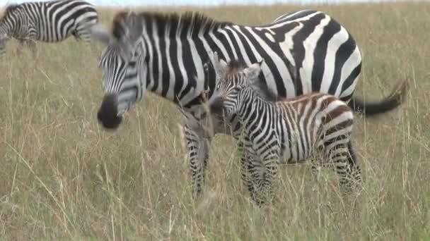 Zebra Anya gyermekével