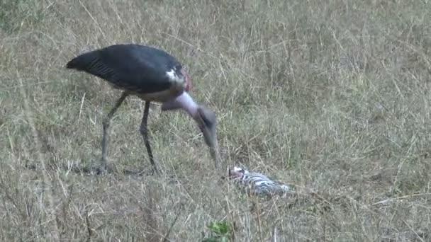 Čáp Marabu, stravování