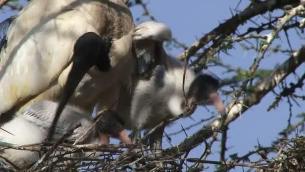 Ibis pták se dvěma buchtama