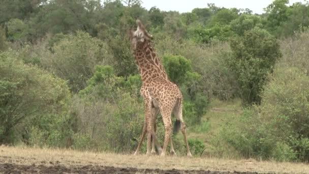 Giraffe torcendo il collo