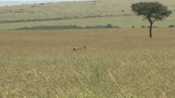 lioness hunting in long grass