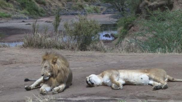 Lví pár unavený a vyčerpaný