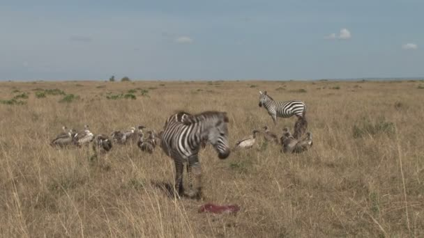 Zebra helped to keep away vultures from baby