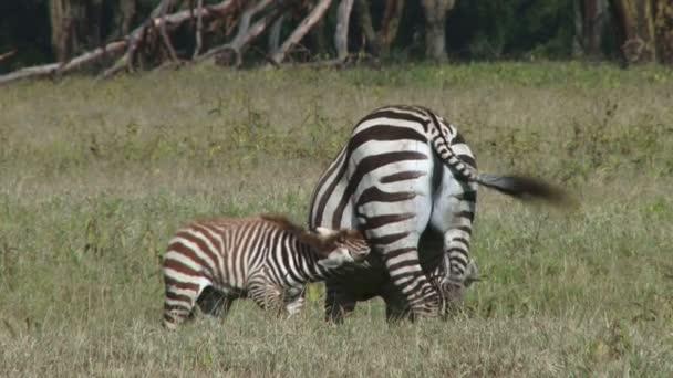 Zebra baby suckling