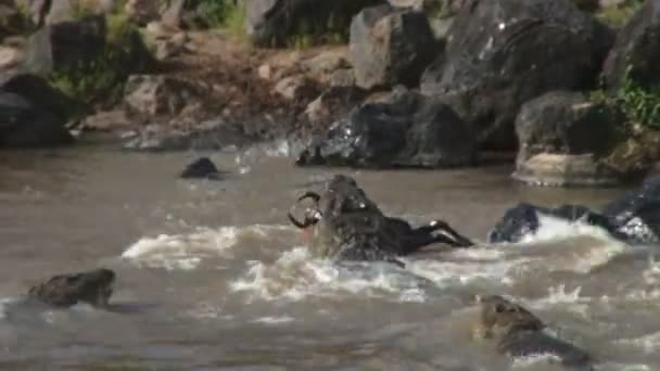 crocodiles fight for food