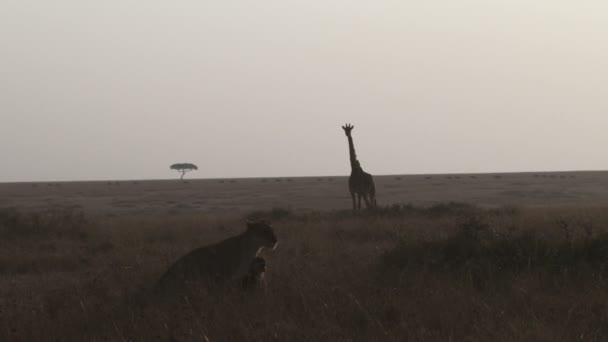 Leoni a piedi accanto al giraffe