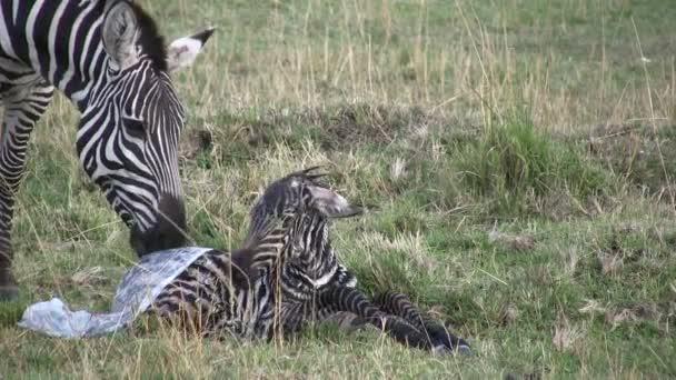 baba Zebra igyekszik, hogy első lépésben
