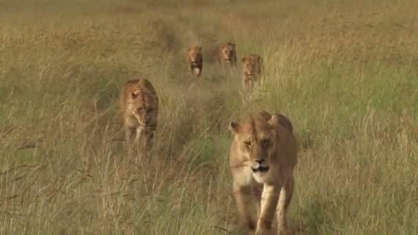 sok oroszlán séta