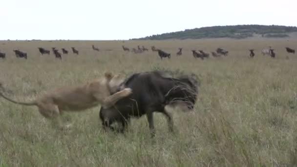 Oroszlánok vadásznak le egy GNÚ