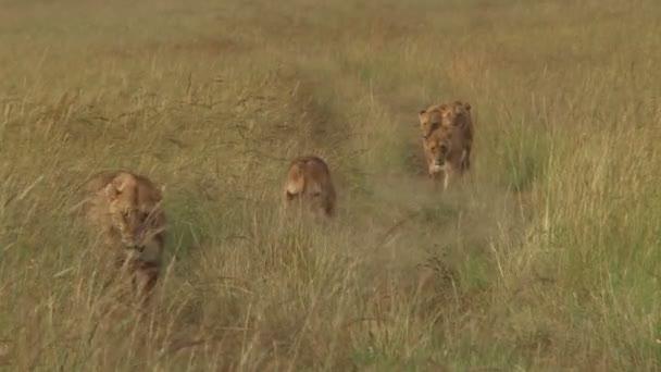 mnoho lvů chůzi