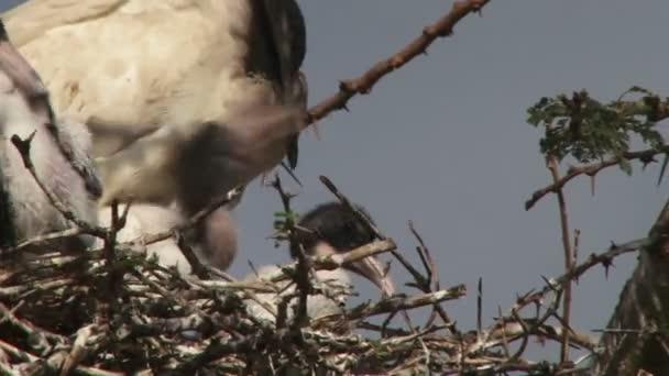 Ibis krmení kojenců