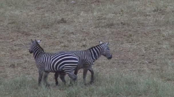 Boj o zebry v safari