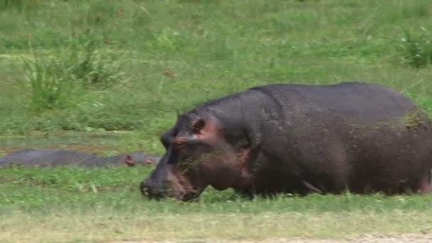 Flusspferd ernährt sich in einem Sumpf