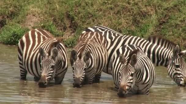 zebry pitné vody