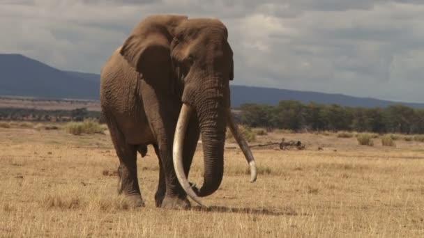 hosszú agyarai elefánt