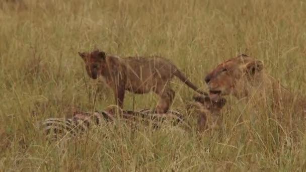 Lví mládě stojan mrtvé Zebra