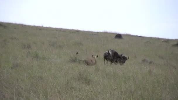 Leone a caccia di uno GNU
