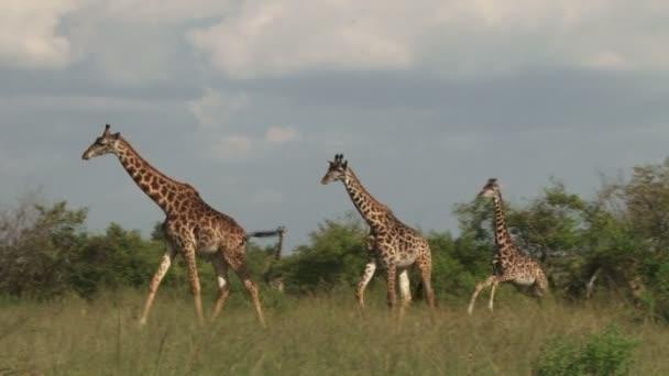 Wildebeest con giraffe in Africa