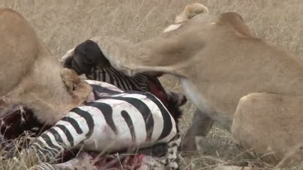 leoni che mangiano morta zebra